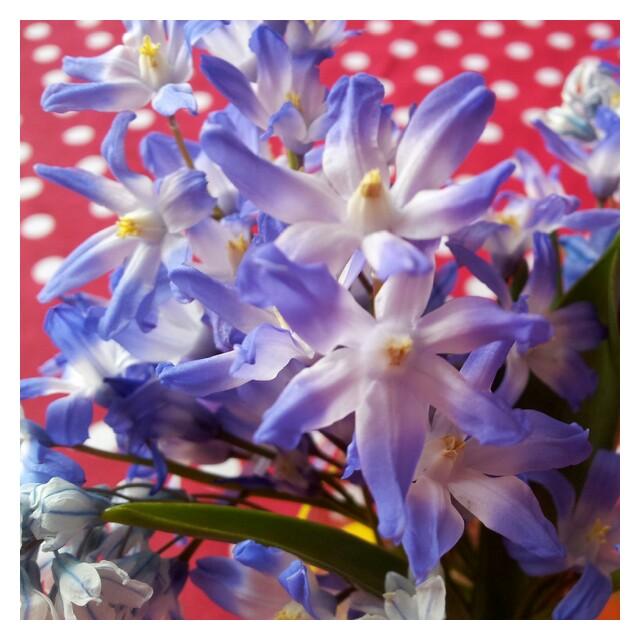Söta scilla vårblomster från mammas trädgård