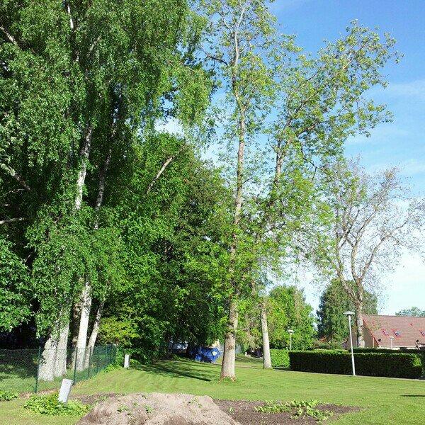 Björkträden i full grönska