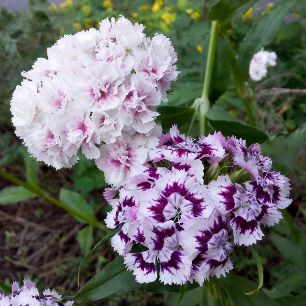 blomster från mamma och pappas trädgård