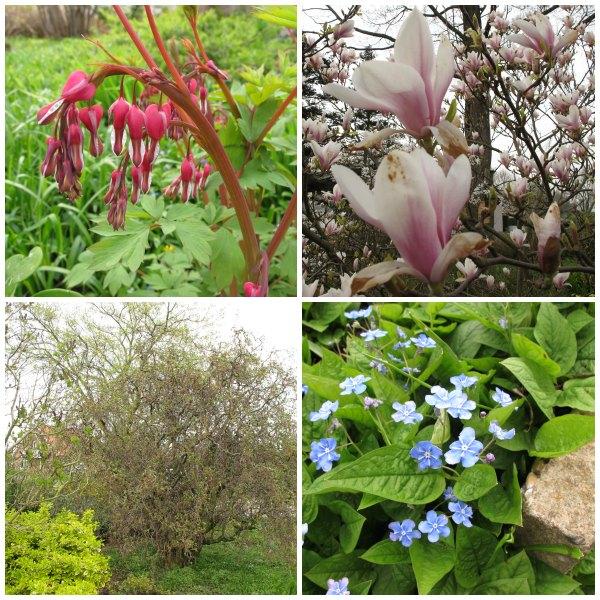 Vackra vårblommor, Helen Holmberg på besök i mammas och pappas trädgård