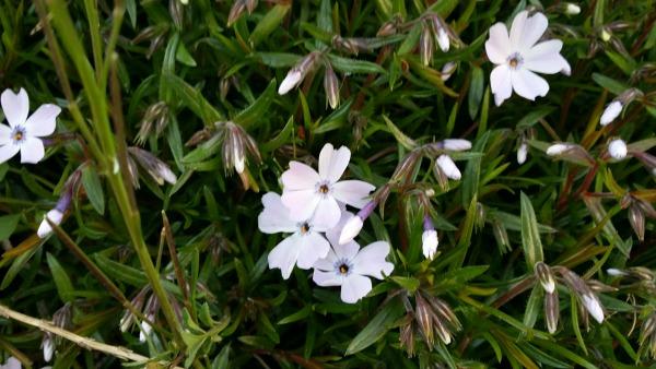 Blomma i svärmors trädgård