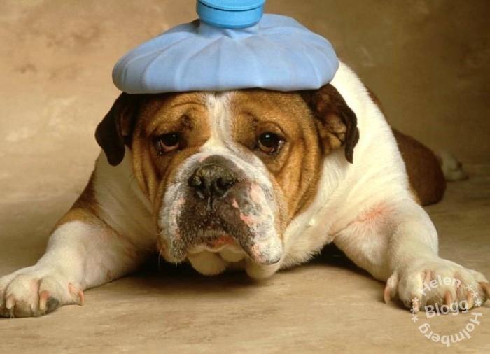 Söt hund med ispåse på huvudet