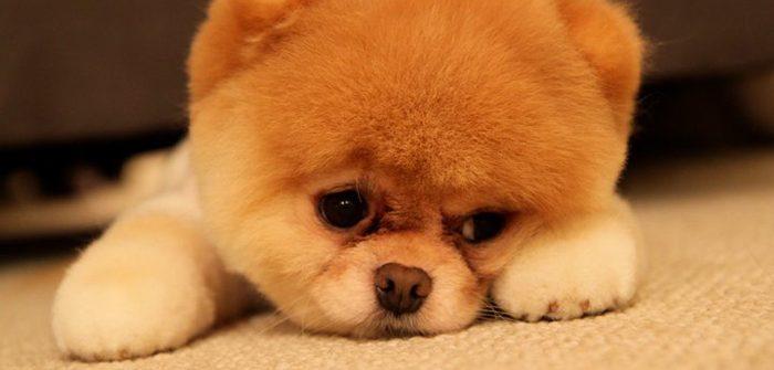 söt hundvalp som ser lite ledsen ut