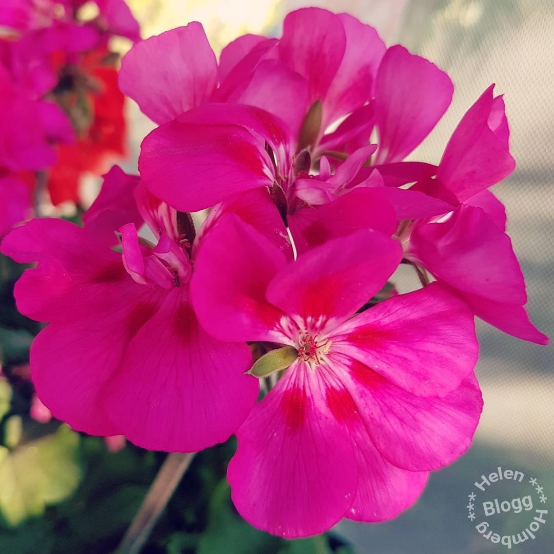 Fina blommor i mina föräldrars trädgård