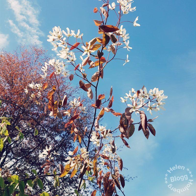 Vacker vårdag i ett blommande Mörarp