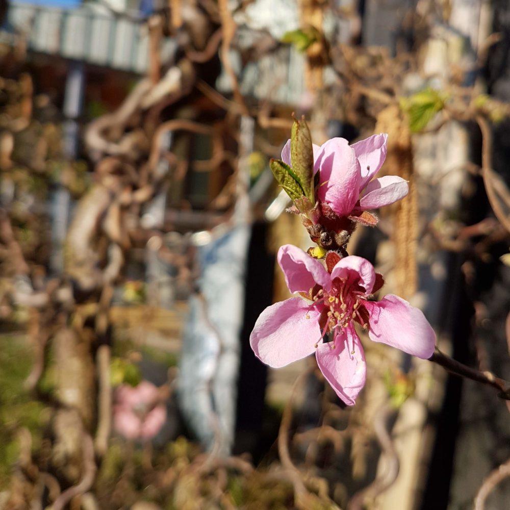 vårblommor i svärmorsträdgård i påsk